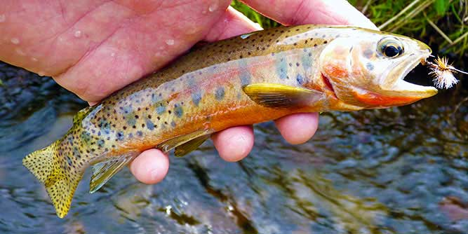 Small westslope cutthroat from Creek X