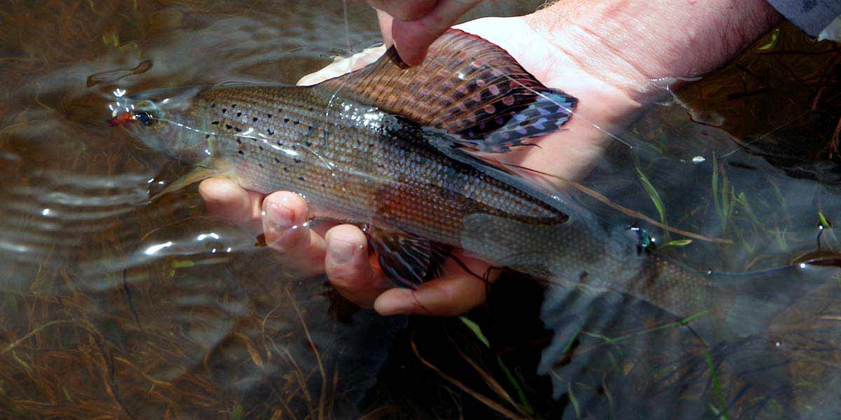Male Arctic grayling from an area hike-in lake