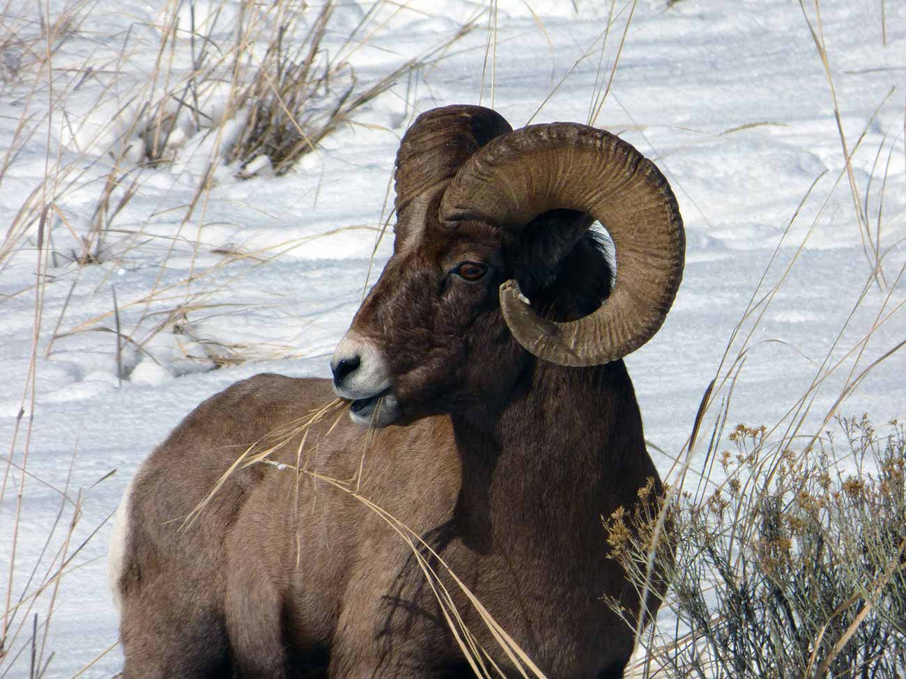 Winter bighorn sheep